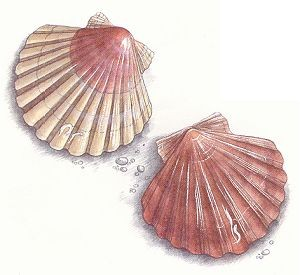 Coquille st jacques - Coquille saint jacques dessin ...